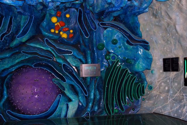 Как выглядит человеческая клетка. Немецкий музей в Мюнхене