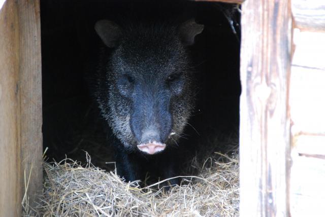 Приют Белоснежки свиньи