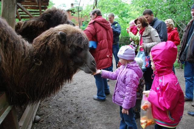 Приют Белоснежки кормление верблюдов