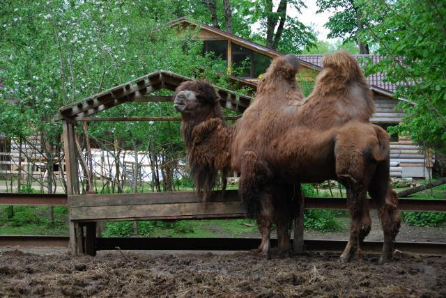 Приют Белоснежки Верблюды